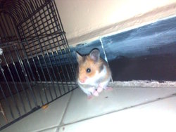 Brownly, rongeur Hamster