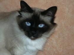 Scalie, chat Angora turc