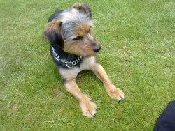 Cartouche, chien Yorkshire Terrier