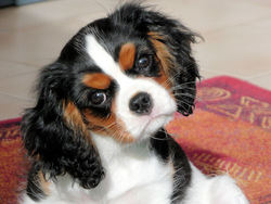 Chester, chien Cavalier King Charles Spaniel