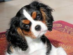 Chester, chien Cavalier King Charles Spaniel
