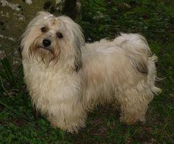 Vivien, chien Bichon havanais