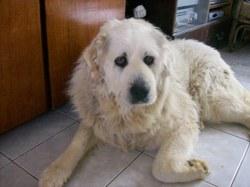 Noulka, chien Chien de montagne des Pyrénées
