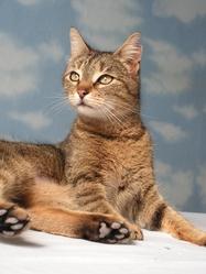 Orion , chat Gouttière