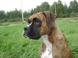 Peggy, chien Boxer