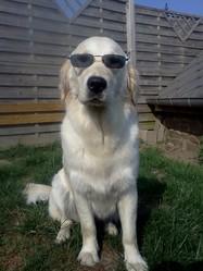 Feria, chien Golden Retriever