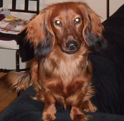 Kachou, chien Teckel