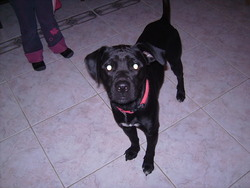 Elliott, chien Labrador Retriever