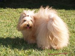 Clarabella, chien Bichon havanais