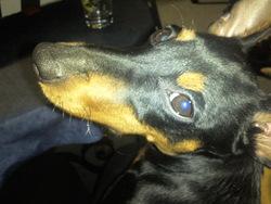 Falko, chien Pinscher