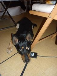 Tenor Allias Negro , chien Beauceron