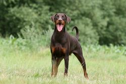 Gaîa, chien Dobermann