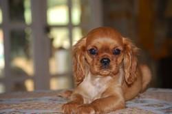Estrella Rubia, chien Cavalier King Charles Spaniel