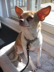 Rosie, chien Chihuahua