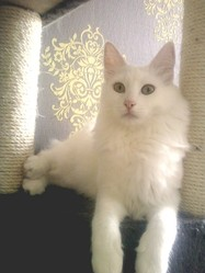 Epsylon, chat Angora turc