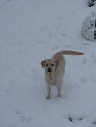 Owen, chien Labrador Retriever