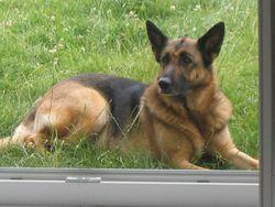 Yoko, chien Berger allemand