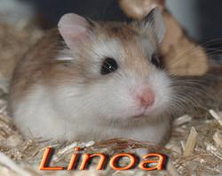 Linoa, rongeur Hamster