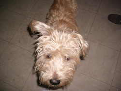 Tango, chien Cocker anglais