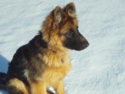 Rusty, chien Berger allemand