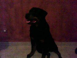 Bianca, chien Rottweiler