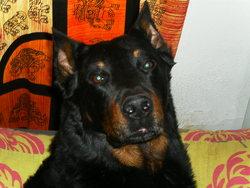 Spike, chien Beauceron