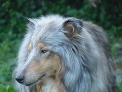 Paris, chien Colley à poil long