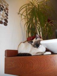 Crevette, chat Siamois