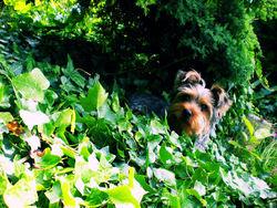 Paco, chien Yorkshire Terrier