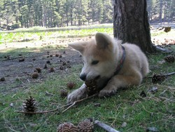Vortex, chien Akita Inu