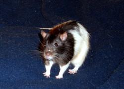 Scratchy, rongeur Rat