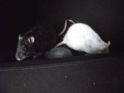 Max, rongeur Rat