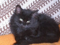Zitoune, chat Européen