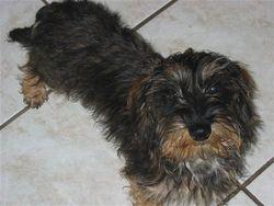 Vanille, chien Teckel