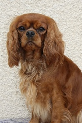 Bianca, chien Cavalier King Charles Spaniel