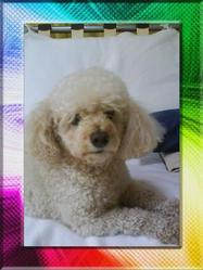 Belle, chien Caniche
