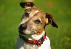 Bart, chien Jack Russell Terrier