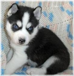 Federico, chien Husky sibérien