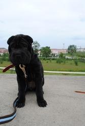 Mahja, chien Shar Pei