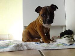 Elios  , chien Staffordshire Bull Terrier