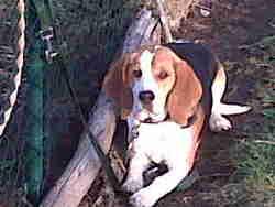 Lynus, chien Beagle