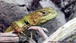 Iguane À Écailles Malachites, autres