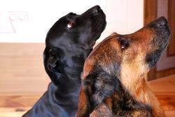 Gaia, chien Cane Corso