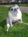 Julie-Charlotte, chien Carlin