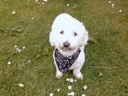 Cloe, chien Bichon maltais
