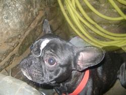 Daya, chien Bouledogue français