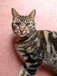 Bigoudi, chat Gouttière