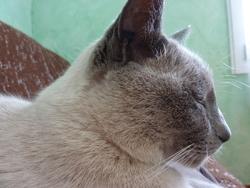 Romeo, chat Thaï