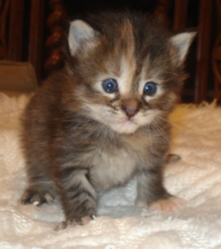 Black Tortie Silver Mackerel Tabby, chat Maine Coon