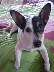 Talia, chien Jack Russell Terrier